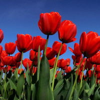 Des tulipes