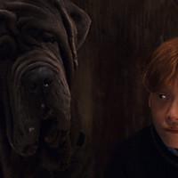 Crockdur (chien d'Hagrid dans Harry Potter)