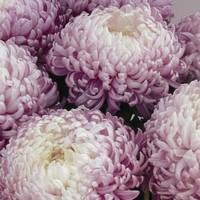 Des chrysanthèmes