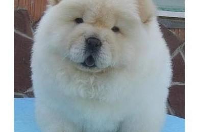 Et si vous trouviez ce bébé chien de race  devant votre porte, vous vous sentiriez comment?
