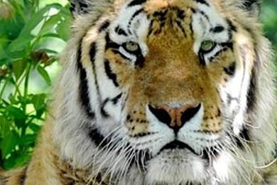 Comment avez-vous réagi lorsque vous avez su qu'un tigre était en liberté en Seine et Marne ?