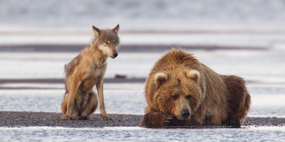 Trump ne danse pas avec les loups et veut la peau de l'ours
