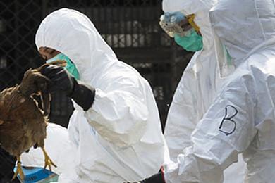 La grippe aviaire semble être de retour en Europe. Vous en pensez quoi?