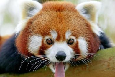 Le panda roux! C'est la nouvelle star du Jardin des plantes à Paris, vous en pensez quoi du petit?