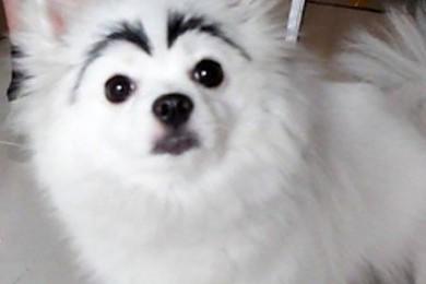 La nouvelle tendance qui consiste à dessiner des sourcils à son chien vous en pensez quoi?