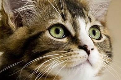 Les excréments de chat secrètent une substance efficace dans un traitement contre le cancer.