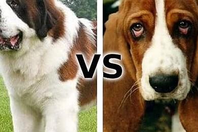 Laquelle de ces races de chien a le meilleur tempérament?