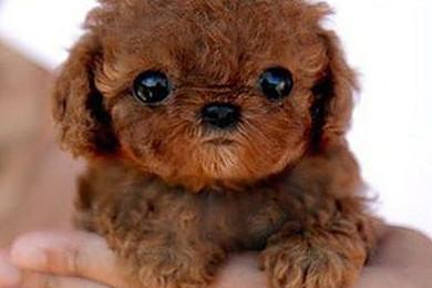 Amants des petites bêtes, quelle est votre race de chien favorite?