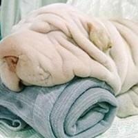 Cane-Asciugamano