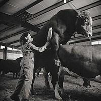 Raccoglitrice di semi di toro