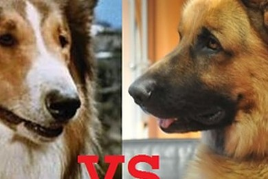 Chi vorresti al tuo fianco, Rex o Lassie?