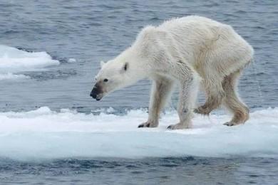 La foto dell'orso smagrito diventa il simbolo dei cambiamenti climatici