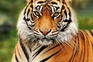 £1m project to save Bengal tiger