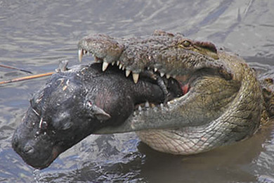 Crocodile versus Komodo Dragon - who'd win in a bare knuckle fight?